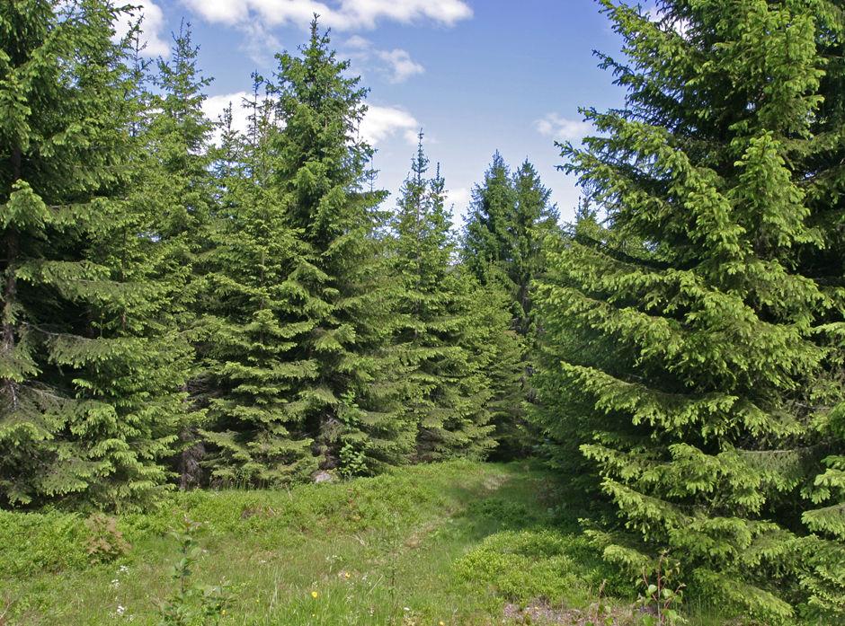 Illustrasjonsbilde skog.