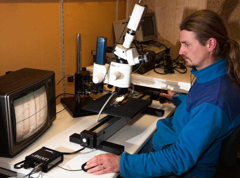 NIBIO er en av institusjonene som forsker på skog. Her er det Ken Olaf Storaunet som bestemmer alderen på borprøver fra trær.