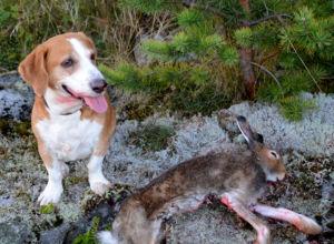 Harepest og smitteforhold