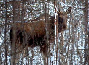 Flytter forvaltningsansvaret for hjorteviltet