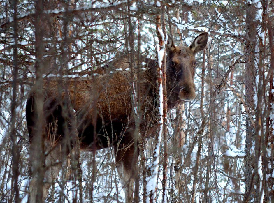 Elg i skogen.
