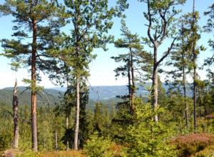 Standard for et bærekraftig skogbruk