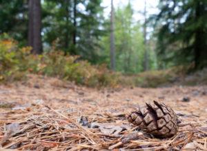 Ja til felles nordisk skogpolitikk