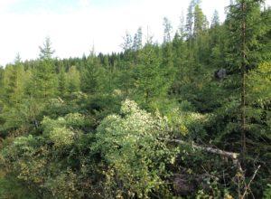 Mer ungskogpleie er viktig for å øke verdien i skogen