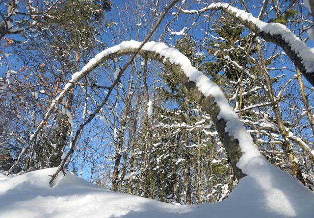Tung og våt snø kan gjøre store skader på skogen. I fjor utbetalte Skogbrand over 11 millioner kroner for snøskader på skog.