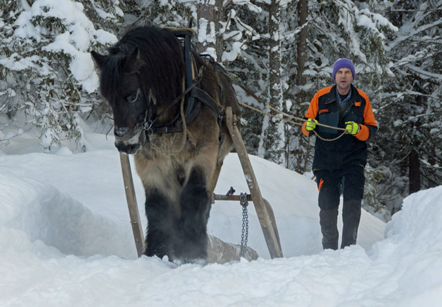 Museumsbonde Anders Hagen demonstrerer gammeldags hankekjøring med hesten Bruno. Foto: Audbjørn Rønning / Maihaugen.