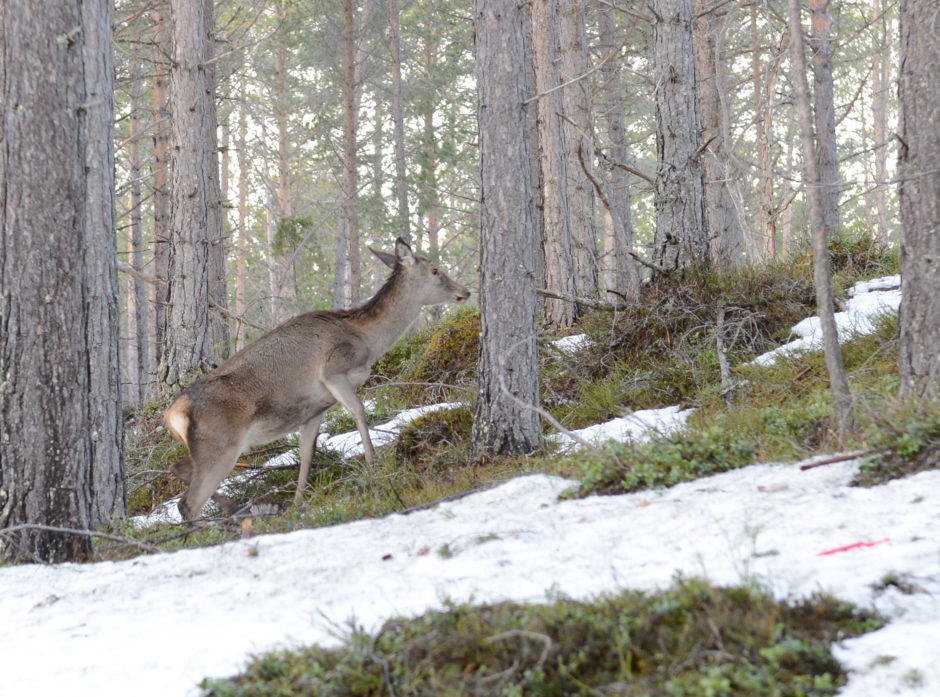 Hjorten sprer seg til stadig nye områder. Foregående år var det åpnet for hjortejakt i Østfold. Foto: Åsmund Lang