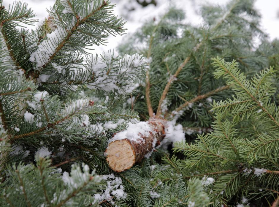 Det produseres juletre flere steder i Norge og danskene er de største konkurrentene på hjemmemarkedet.