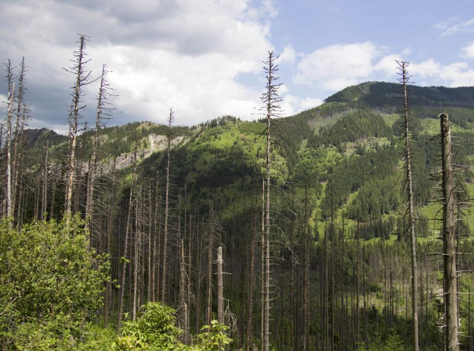 Store deler av skogen i Europa dør som følge av barkbiller. Foto: Colourbox.