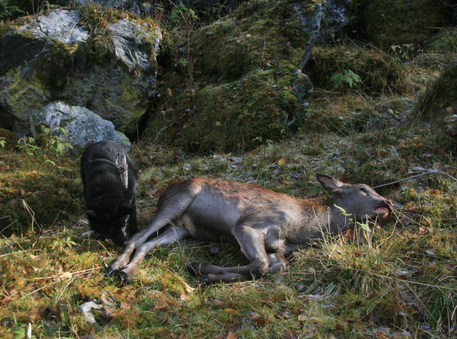 I tre vestlandskommuner kan jegerne jakte fritt på hjortekalv i år. Foto: Vebjørn Veiberg,
