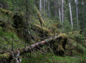 NINA-rapport om økologisk tilstand i skog
